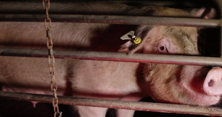 """ANIMAL AID - ANIMAL EQUALITY - CIWF ITALIA ONLUS - ENPA - LAV: END THE CAGE AGE « NUOVE IMMAGINI, LE SCROFE IN GABBIA DELL' """"ECCELLENZA ITALIANA"""" » (VIDEO)"""