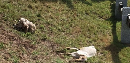ENPA - TRENTINO * PECORE VAL DI BORZAGO: « CHI AGISCE CONTRO GLI ANIMALI PONE AL TEMPO STESSO IN ESSERE COMPORTAMENTI LESIVI DEI DIRITTI DELLA COMUNITÀ »