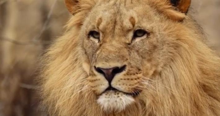 """WWF ITALIA * ' SOS LEONE ': """" IN 100 ANNI LA POPOLAZIONE È PASSATA DA 200.000 A MENO DI 20.000 INDIVIDUI, CON UN CROLLO DEL 90% """" (VIDEO)"""